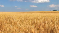 Wheat field in a strong wind