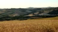 Wheat field in summer at sunset, Pienza, Val d'Orcia, Siena Province, Tuscany, Italy