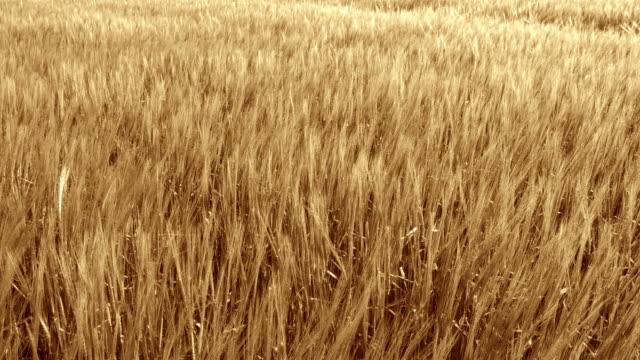 HD CRANE: Wheat Field In The Wind