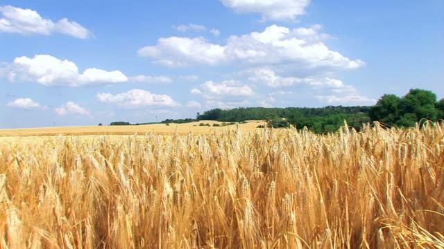 Weizen Feld – Panorama