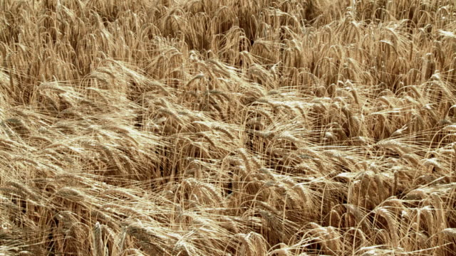 HD SLOW-MOTION: Wheat Field