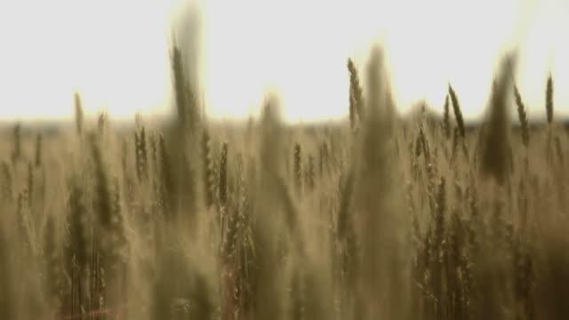 Wheat Field Walk