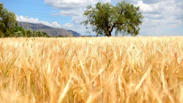 Wheat field waving