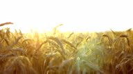 Wheat Field With Sunny Backlight