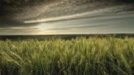 WS Wheat fields at sunset, Palouse, Washington, USA