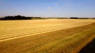 Wheat fields before the harvesting season