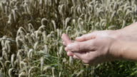 MS Wheat grains in farmers hand for quality check / Mainburg, Bavaria, Germany