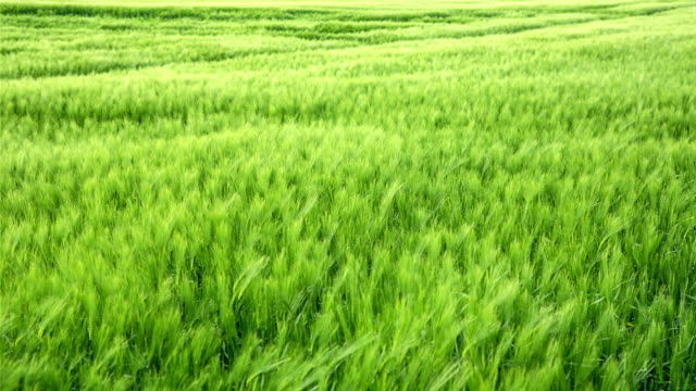 Wheat in the Breeze