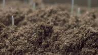 Wheat seeds germinate underground and sprout. Available in HD.