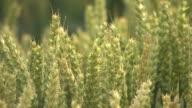 Wheat sheaths