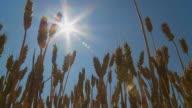 HD DOLLY: Wheat Stalks Against Sunlight