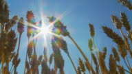 HD SLOW MOTION: Wheat Stalks Against Sunlight