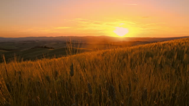 SLO MO Wheat stalks at sunset