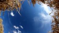 HD DOLLY: Wheat Stems Against Blue Sky