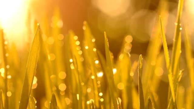 Wheatgrass at sunset