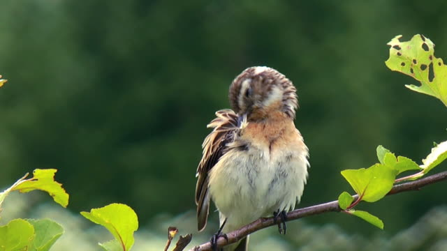 Whinchat perching on the branch