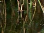 Whirligig Beetles (Gyrinus natator) on pond surface, UK