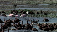 MS Whistling ducks and Roseate Spoonbills in wetlands / Guanacaste, Costa Rica