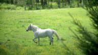 White beautiful horse running on the meadow