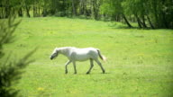 White beautiful horse walking on the meadow