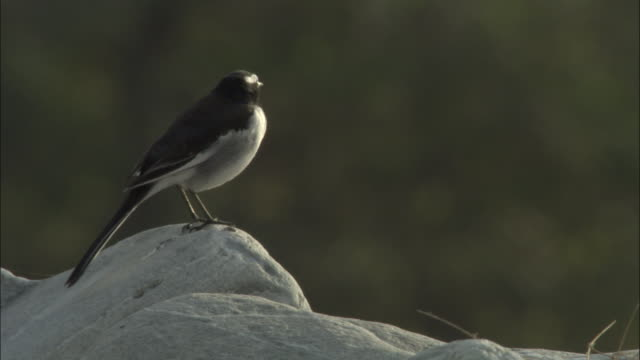 White browed wagtail takes off from rock, Chilla sanctuary, India Available in HD.