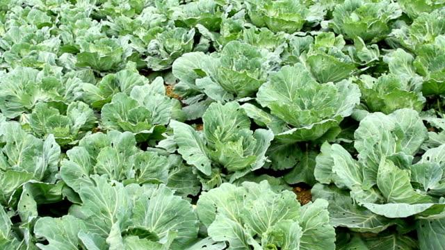 White cabbage field