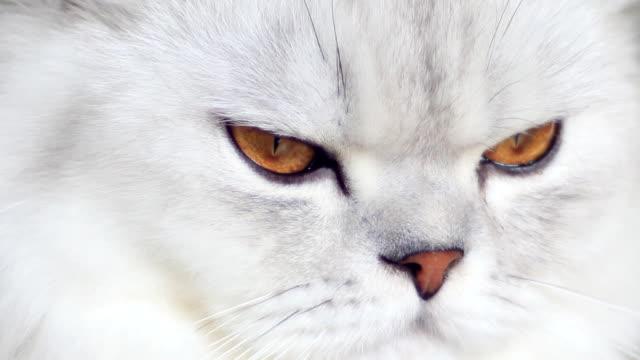 White cat curiosity.