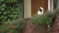 White cat preens itself on balcony of house with red flowers in window boxes, Hallstatt