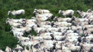 White Cattle In A Herd, Minas Gerais State  - Aerial View - Goiás, Brazil