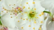 White cherry blooming flowers
