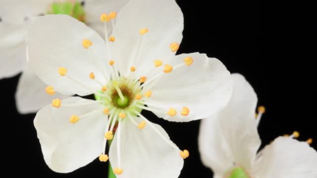 Witte kers bloeiende bloemen