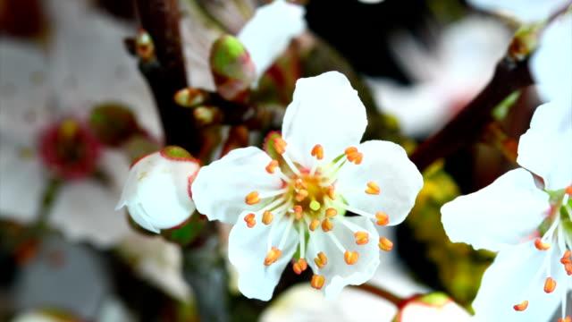 White cherry flowers blooming