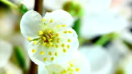 White cherry flowers blooming