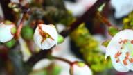 White cherry tree blooming 4K
