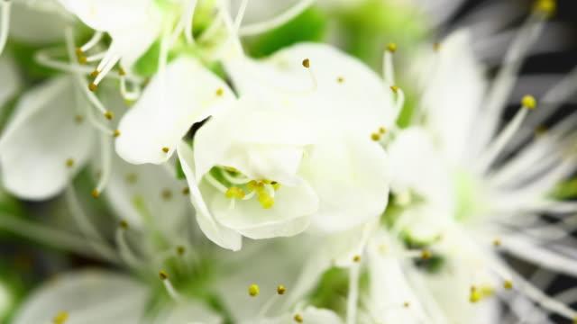 Vita körsbärsträd blommor blommande 4K