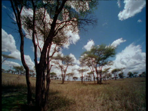 White clouds billow over Acacia scrubland