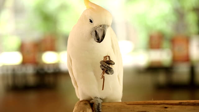 White Cockatoo eat their peanut