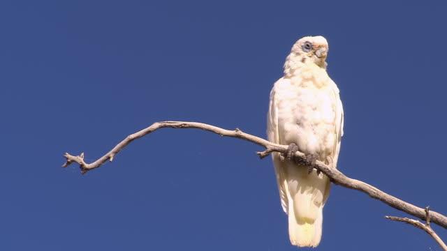 MS White cockatoos on perch / Innamincka, South Australia, Australia