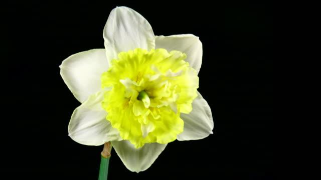 White daffodil blooming 4K