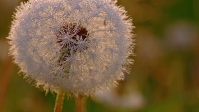 R/F White dandelion