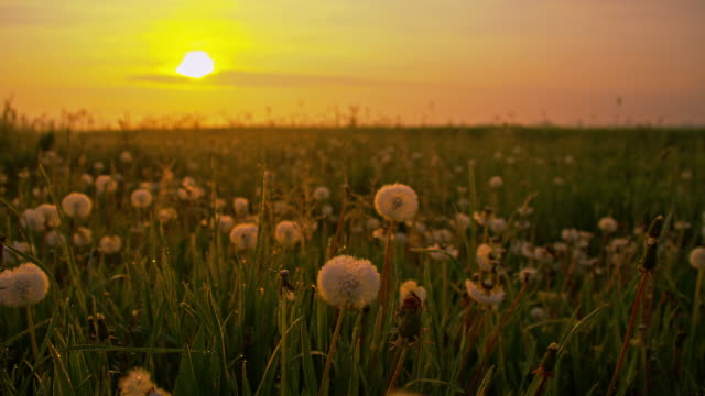 DS White dandelions at dawn