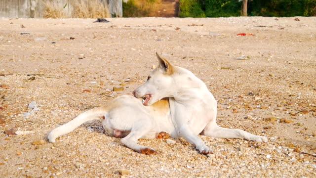 White dog itch on sunny.