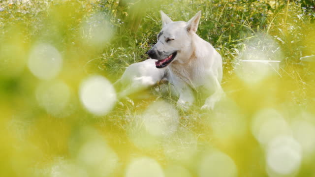 white dog sitting in the grass.