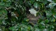 Silberreiher Bruteier in einem Nest auf einem Ast.
