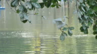White Egret perch on a branch to find victims.