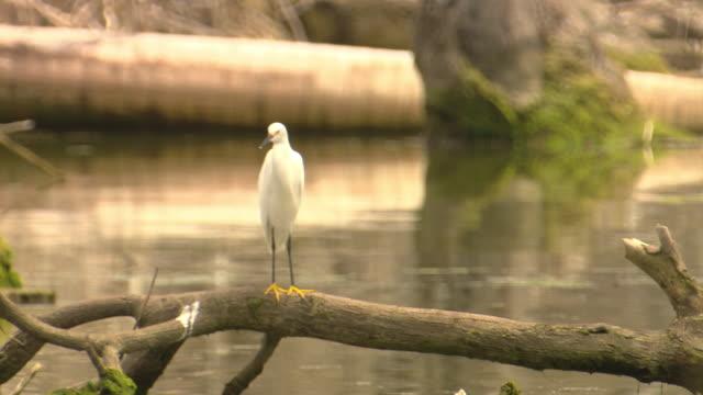 A white egret perches on a swamp log.