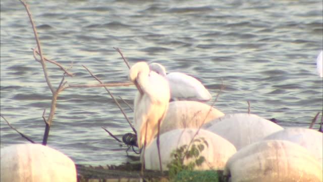 White Egrets In Watarase Retarding Basin