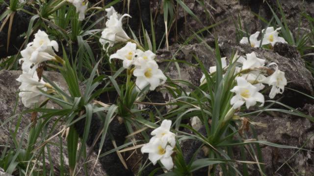 White flower of Vellozia peripherica.