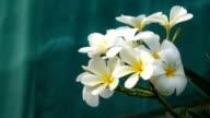 white Flowers Frangipani