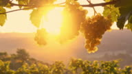 DS White grapes hanging off the vine at sunrise